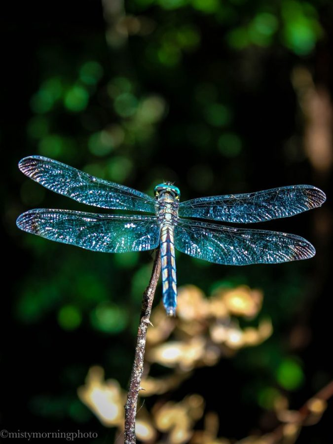 How to Attract Dragonflies to Your Yard