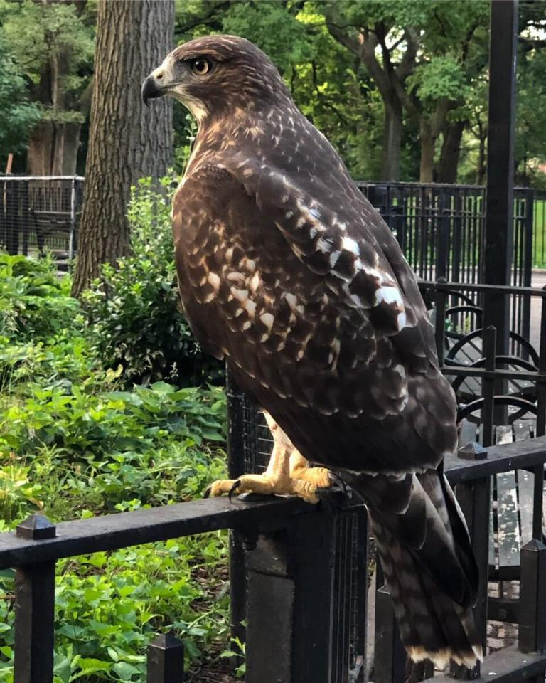 How to Attract Hawks to Your Yard