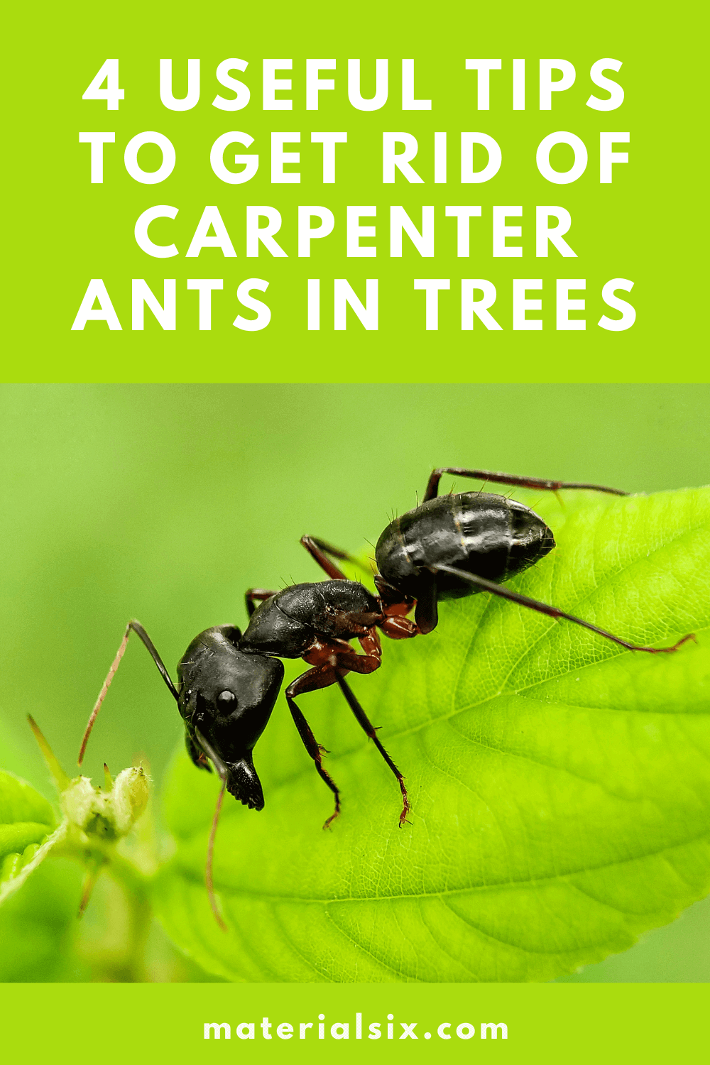 How to Get Rid of Carpenter Ants in Trees (2)
