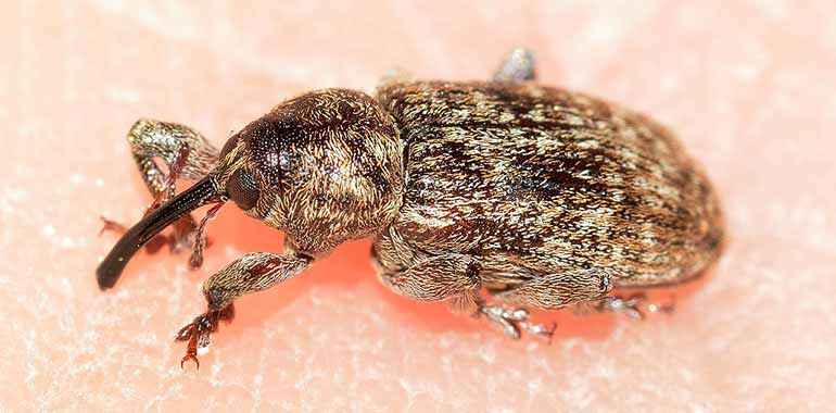 How To Get Rid of Weevils In My Bedroom